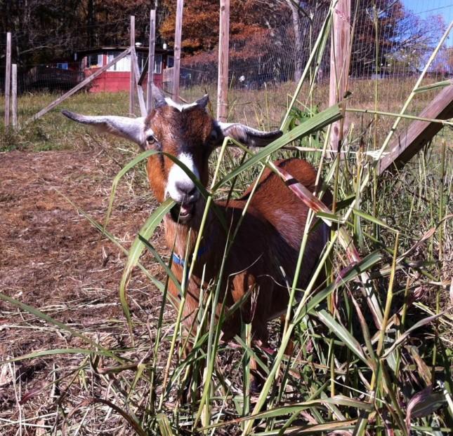 Chucho the Goat
